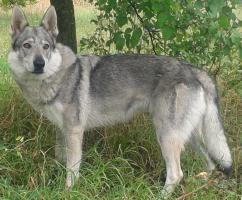 Foto 2 Tschechoslowakische Wolfshund-Welpen