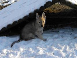 Tschechoslowakische Wolfshunde Welpen aus erfolgreicher VDH Zucht