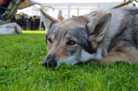 Foto 2 Tschechoslowakischer Wolfhund Welpen