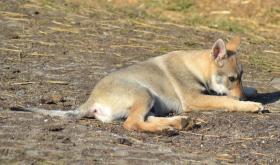 Foto 3 Tschechoslowakischer Wolfshund
