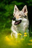 Foto 2 Tschechoslowakischer Wolfshund mit Papiere