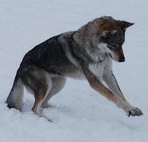Foto 2 Tschechoslowakischer Wolfshund Welpen mit FCI Papiere