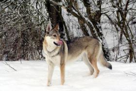 Foto 3 Tschechoslowakischer Wolfshund Welpen mit FCI Papiere