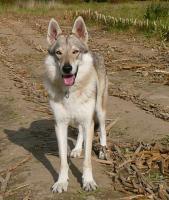 Foto 3 Tschechoslowakischer Wolfshund welpen