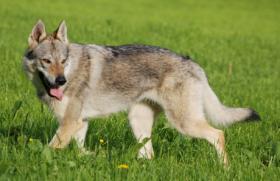 Foto 2 Tschechoslowakischer Wolfshund - Welpen