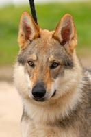 Foto 3 Tschechoslowakischer Wolfshund - Welpen