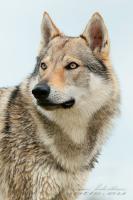 Tschechoslowakischer Wolfshunde