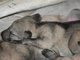 Foto 6 Tschechoslowakischer Wolfshunde
