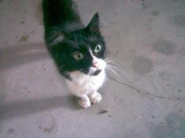 Türkisch Angora Katze abzugeben