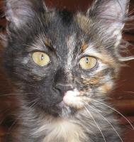 Türkisch Angora Katzenmädchen