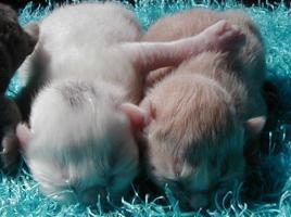 Foto 2 Türkisch Angora Kitten