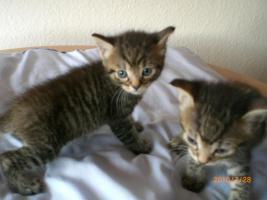 Türkisch Angora-Kitten
