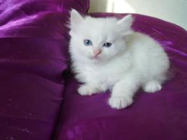 Foto 3 Türkische Angora Babys