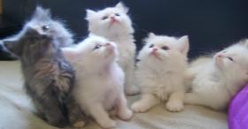 Türkische Angora Babys