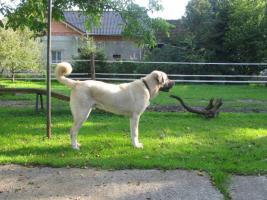 Foto 4 Türkischer Hirtenhund Kangal - Welpen zum Verkaufen