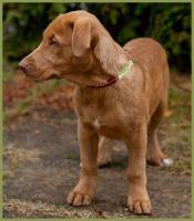 Foto 3 Twix, männlich , ca. 4 Monate, 37 cm, Labrador-Mix , gechipt