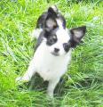 Typ volle  Chihuahua Welpen Rueden mit Ahnentafel