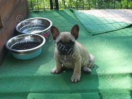 Foto 2 Type Full Bully puppies for sale with pedigree