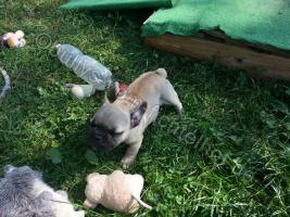 Foto 3 Type Full Bully puppies for sale with pedigree