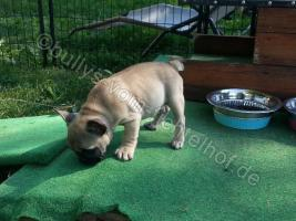 Foto 4 Type Full Bully puppies for sale with pedigree