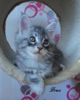 Foto 2 Typevolle Maine Coon Kitten