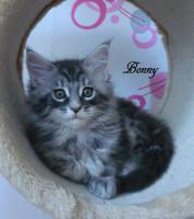 Foto 3 Typevolle Maine Coon Kitten