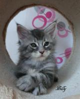 Foto 4 Typevolle Maine Coon Kitten