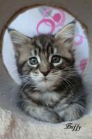 Foto 6 Typevolle Maine Coon Kitten