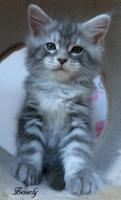 Foto 7 Typevolle Maine Coon Kitten