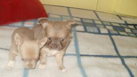 Typovolle Chihuahua Hündinnen