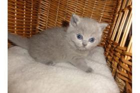Typvolle BKH Kitten mit Papieren