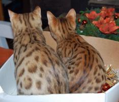 Foto 5 Typvolle Bengalkitten mit toller Rosetten- oder Marblezeichnung abzugeben.