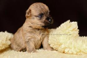 Typvolle Cairn Terrier VDH aus Multi. Champion Verp. liebevoll in der Familie aufgewachsen