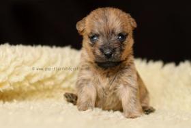 Foto 2 Typvolle Cairn Terrier VDH aus Multi. Champion Verp. liebevoll in der Familie aufgewachsen