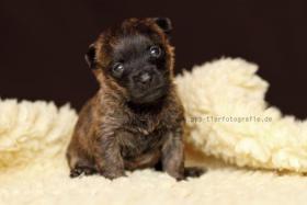 Foto 3 Typvolle Cairn Terrier VDH aus Multi. Champion Verp. liebevoll in der Familie aufgewachsen