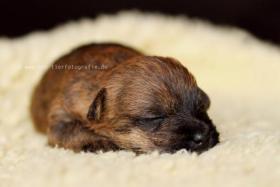 Foto 4 Typvolle Cairn Terrier VDH aus Multi. Champion Verp. liebevoll in der Familie aufgewachsen