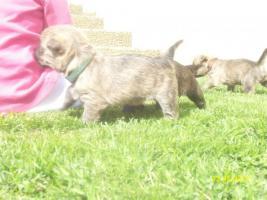 Foto 5 Typvolle Cairn Terrier VDH aus Multi. Champion Verp. liebevoll in der Familie aufgewachsen