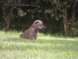 Foto 6 Typvolle Cairn Terrier VDH aus Multi. Champion Verp. liebevoll in der Familie aufgewachsen