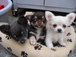 Typvolle Chihuahua Welpen mit Papieren