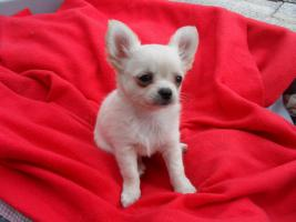 Foto 2 Typvolle Chihuahua Welpen mit Papieren