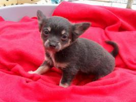 Foto 3 Typvolle Chihuahua Welpen mit Papieren