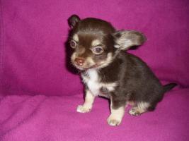 Foto 4 Typvolle Chihuahua Welpen mit Papieren