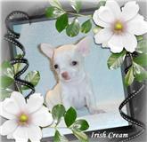 Foto 2 Typvolle Chihuahua Welpen in aussergewöhnlich seltenen Farben