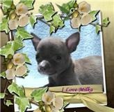Foto 3 Typvolle Chihuahua Welpen in aussergewöhnlich seltenen Farben