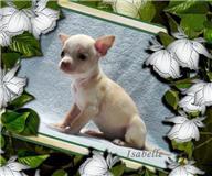 Foto 4 Typvolle Chihuahua Welpen in aussergewöhnlich seltenen Farben