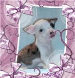 Foto 5 Typvolle Chihuahua Welpen in aussergewöhnlich seltenen Farben