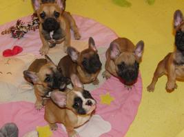 Typvolle Franz. Bulldoggen Schokoträger