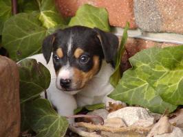 Typvolle Jack Russell Terrier Welpen