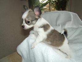 Typvolle LH Chihuahuawelpen m. Papieren