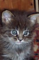 Typvolle Maine Coon Kitten